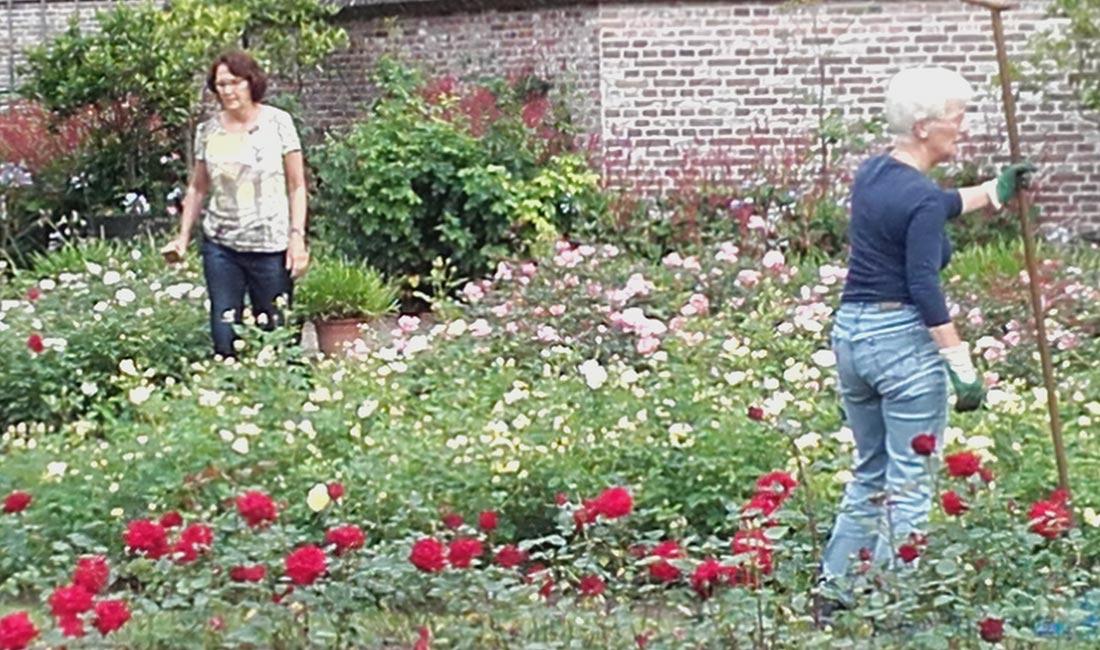 afbeelding rozen-planten-en-snoeien